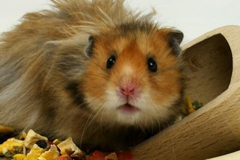 Erwachsene Videos im Hamster Web